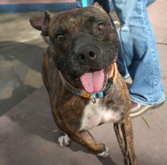 GORDIE is a beautiful 2 to 3 year old brindle Pit-bull, as sweet as a dog can be and full of energy. He gets along well with all animals and loves people and children. He would do best in a family with an active household. He loves the sunshine and...