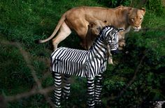 Zebra was part of th