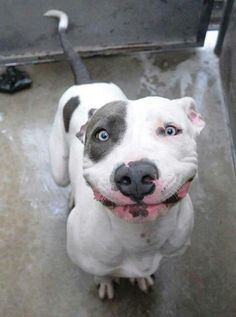 How sweet is this pitbulls face. Oh the smile