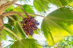 Realistic Graphic DOWNLOAD (.ai, .psd) :: http://jquery-css.de/pinterest-itmid-1006560798i.html ... Date palm ...  brown, dactylifera, date, date palm, dates, delicious, detail, food, fruit, fruits, green, nature, palm, ripe, sweet, tree, trees, tropical, vitamins, yellow  ... Realistic Photo Graphic Print Obejct Business Web Elements Illustration Design Templates ... DOWNLOAD :: http://jquery-css.de/pinterest-itmid-1006560798i.html