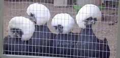 white crested black Polish Bantams - looks like a group of perfectly coifed older ladies