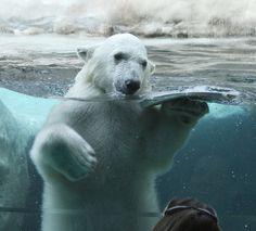 Polar bear >> brrrr...