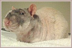 Dean, a Double Rex rat. Pictured here in a stage where he had a fair amount of fur. Throughout a Double Rex rat's life, they have shifting patterns of baldness. They also have curly whiskers.