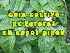 Cultivo de patatas (papas) en bidones, cubos, etc