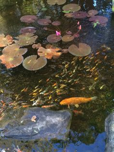The Koi are swimming happy in the Fall. Koi Ponds, Water Gardens, Porches, Pools, Jackson, Nursery, Swimming, Fish, Happy