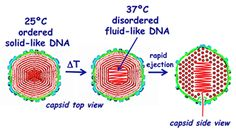 Carnegie Mellon Research Shows Viral DNA Infects Cells by Changing from Solid to Fluid-Like State - News - Carnegie Mellon University Stem Fields, Biology Classroom, Carnegie Mellon, Molecular Biology, Biochemistry, Genetics, Research, Dna, Anatomy