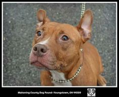 URGENT!!! FOUND IN Youngstown area...NOW ADOPTABLE!!!!>>>>Meet NICKI, a sweet lovable girl waiting for a loving home! Youngstown, OHIO...Available on: 1/10Contact: fofmcdp@gmail.comNicky (ID #16) is a sweet little pittie girl who was found as a stray. She appears to have been nursing puppies recently, although none were brought in with her. She is friendly and just dying for...