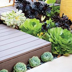 Plant a pocket garden Tuck a small row of echeveria between an upper and lower patio to remind visitors to step up. Use larger succulents, such as the three kinds of aeonium pictured, to signal where the upper patio drops off. Succulent Landscaping, Succulent Gardening, Landscaping Tips, Cacti And Succulents, Garden Landscaping, Garden Great Ideas, Garden Inspiration, Air Plants, Garden Plants