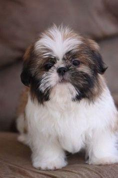 Adorable Shih Tzu puppy!! www.noblepuppies.com #shihtzupuppy