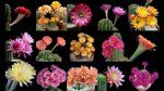Freaky Flowers: Echinopsis Cacti in Bloom on Vimeo