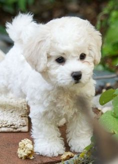 Bichon Frise ranked Top 10 Laziest Dog Breeds, this dog is way too cute, I wonder if he comes in gray or black, little and low energy, just what I need in my dog . Little Puppies, Little Dogs, Cute Puppies, Dogs And Puppies, Doggies, Pomsky Puppies, Puppys, Pet Dogs, Toy Puppies