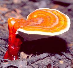 Ganoderma lucidum Reishi Mushroom Classification  Organo Gold | Gourmet Coffee | Ganoderma Lucidum | Lucid Ganoderma | Holton Buggs | OrganoGold.com  http://oggourmetcoffee.com/Join_Organo_Gold_Los_Angeles/