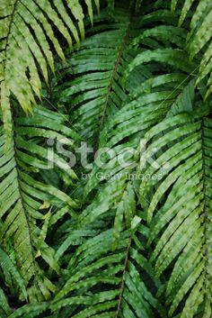 New Zealand 'Kiokio' Fern Royalty Free Stock Photo Abel Tasman National Park, Image Now, Fertility, Ferns, Simply Beautiful, Spring Time, New Zealand, Plant Leaves, Coastal