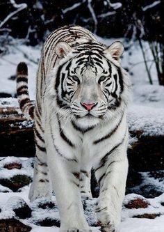 White Siberian Tiger - Snow walker by sergei gladyshev 29141ccaa46d