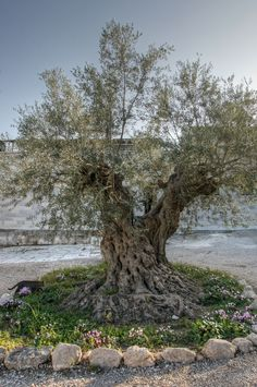Olive Tree . Beit Jemal . Jerusalem