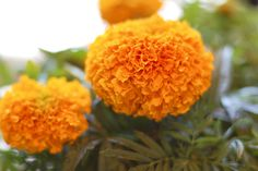 Marigold Murte Drink | Did you know that marigolds are edible flowers? Not just edible but delicious, with a zesty, citrus-like flavor. Since marigolds are the most common flower associated with Day of the Dead celebrations, it was the perfect flavor inspiration for our cocktail, the Marigold Muerte. This drink is incredibly smooth and tasty, so drink with caution. | From: muybuenocookbook.com