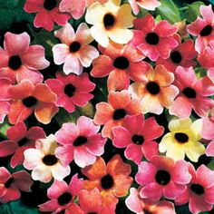 A Black-Eyed Susan Vine from seed with blooms in shades of red, salmon, pink, apricot, and ivory.