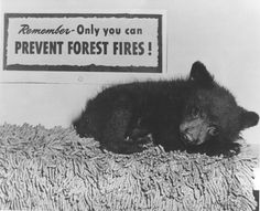 Smoky-the-Bear became a real symbol in 1950 when a tiny, burned and frightened bear cub was rescued clinging to a tree in the Capitan Mountains.