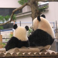 この後ろ姿いつまでも見ていたい🤩 Panda Love, Cute Panda, Panda Bear, Worlds Cutest Animals, Ueno Zoo, Animals And Pets, Cute Animals, Baby Cubs, Giant Pandas