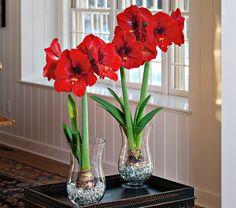 "Amaryllis Ferrari, one bulb in an 11 1/2"" hurricane vase with clear gem stones - White Flower Farm"