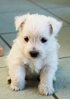 Sweet little 6 weeks old Westie
