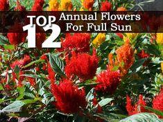 Celosia Plumosa Flower Addict Pinterest Flores