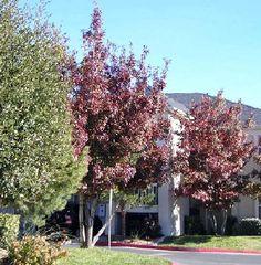 Texas Red Oak / Quercus buckleyi (Abq NM)