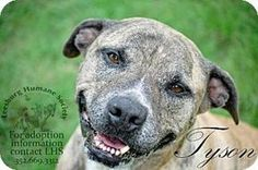 ADOPTED***URGENT***1/1/16. ~ TYSON ~This loving boy is Still waiting! 12/14 Tyson is a beautiful Pit Bull Terrier/Labrador Retriever Mix for adoption in Leesburg, Florida. I don't know how anyone could say no to this adorable smile! Won't you adopt or foster him? He's at a no kill shelter and would love for you to visit!