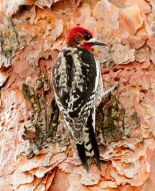 Red-breasted Sapsucker at Malheur NWR HQ.
