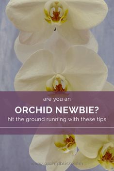 Phalaenopsis Orchid Care, Orchid Plant Care, Orchid Plants, All Plants, Indoor Plants, House Plants, Indoor Orchids, Inside Plants, Orchid Diseases