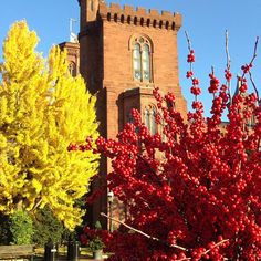 Ginkgo biloba, or the Maidenhair Tree, is the only surviving member of an ancient group of trees that existed on earth before the time of the dinosaurs. Its distinctive fan-shaped leaf turns a vibrant yellow in the fall and brings a pop of color to our Enid A. Haupt Garden. Here the fall Ginkgo leaves are pictured with Ilex verticillata berries, part of the winter interest features in the Haupt Garden.
