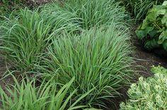 Click to view full-size photo of Cheyenne Sky Switch Grass (Panicum virgatum 'Cheyenne Sky') at Squak Mountain Nursery