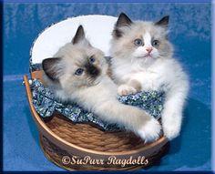 MI Ragdoll Breeder & Ragdoll Kittens for Sale | Supurr Ragdolls