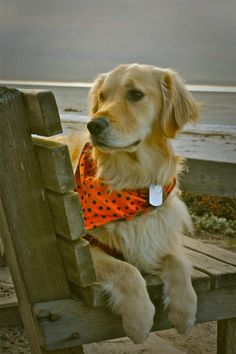 Looks just like my Cooper!  Sweet faced Golden