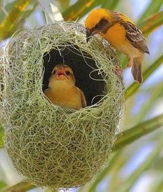 Weaver and Chick