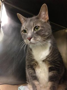 NYACC **URGENT** VERY HANSOME GRAY AND WHITE TABBY SENIOR ALERT** TO BE DESTROYED 7/24/14 Manhattan Center  My name is MANOLO. My Animal ID # is A1006302. I am a neutered male gray tabby and white domestic sh mix. The shelter thinks I am about 10 YEARS old.  https://m.facebook.com/photo.php?fbid=835344923144008&id=155925874419253&set=a.576546742357162.1073741827.155925874419253&source=43