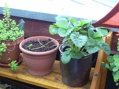 Erdbeerausläufer direkt in neues Töpfchen wachsen lassen