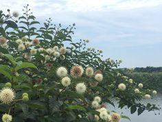 「風箱樹」的圖片搜尋結果 Plants, Plant, Planets