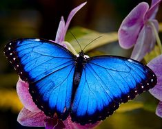 blue morpho butterfly | Found on fotocommunity.com