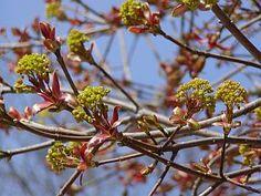 Acer platanoides 'Globosum' - javor mléč