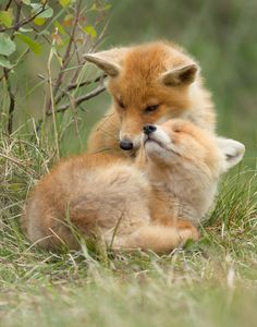 two red fox kits give each other a hug by Menno Schaefer~~