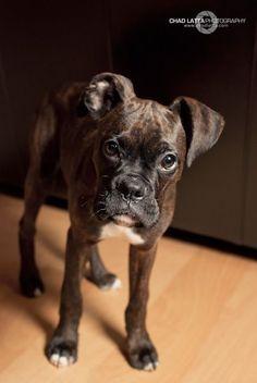 Good Brindle Boxer Bow Adorable Dog - a1114f16ba035e399be9f84409773269  Collection_935142  .jpg