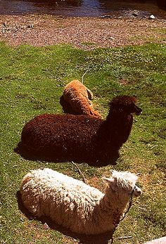 We saw these Lazy Llamas on our bus ride from Copacabana to La Paz #travel