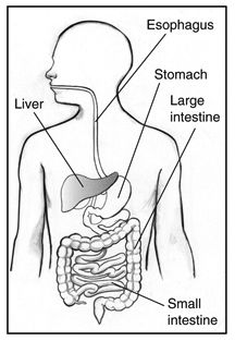 Drawing of the digestive system with sections labeled