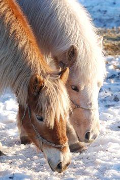 Yakut horses. Paint Horse, Horse Art, Native American Animals, Cute Ponies, Icelandic Horse, Horse World, Horse Quotes, Horse Breeds, Horse Photography