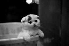 Scottish fold - Cats, kitties, and kittens Crazy Cat Lady, Crazy Cats, I Love Cats, Cute Cats, Baby Animals, Cute Animals, Scottish Fold Kittens, Munchkin Kitten, Sad Cat