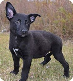 Spring Valley, NY - German Shepherd Dog/Boxer Mix. Meet Tucker a Puppy for Adoption.