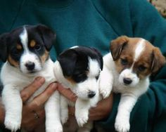 Baby Jack Russels! I love my JRT!