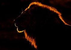 Lion - Amazing Wildlife photos using back-lit. The photographs capture the animals amazing profiles - Wildlife Planet - Animal conservation  Please visit our website for the latest news, Info and Videos on our worlds endangered species, Pets and Healthy Living  http://www.wildlifeplanet.net