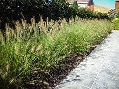 Driveway Landscaping, Modern Landscaping, Front Yard Planters, Edging Plants, Beach Grass, Fountain Grass, Short Plants, Contemporary Garden, Swimming Pools
